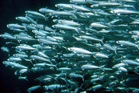 Committed sardines and fructose and blue whales no fructose for Blue fish dental